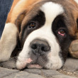 Saint Bernard - Stock Photo