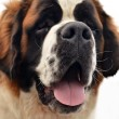 Saint Bernard — Stock Photo #6975507