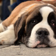 Saint Bernard — Stock Photo