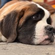 Saint Bernard — Stock Photo #6975512