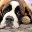 Saint Bernard — Stock Photo #6985935
