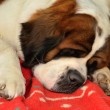 Stock Photo: Saint Bernard