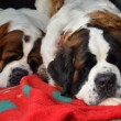 Stock Photo: Couple of purebred st bernard dogs