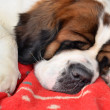 Saint Bernard — Stock Photo #6985971