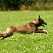 Running belgian shepherd — Stock Photo