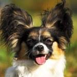 Portrait of a purebred papillon dog — Stock Photo