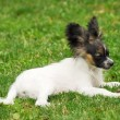 Portrait of a purebred papillon dog — Stock Photo #7084592