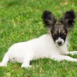 Portrait of a purebred papillon dog — Stock Photo #7084593