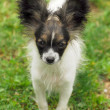 Portrait of a purebred papillon dog — Stock Photo #7084598