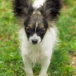 Portrait of a purebred papillon dog - Stock Photo