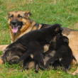 German shepherd puppy — Foto de stock #7084611