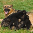 Foto Stock: German shepherd puppy