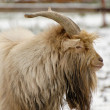 Billy goat dido — Stock Photo