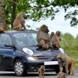 Stock Photo: Apes on car