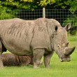White rhinoceros with 3 weeks calf — Stock Photo