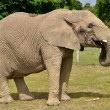 Elephant — Stock Photo #7119106