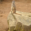 Royalty-Free Stock Photo: Meerkat