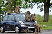 Apes on car — Stock Photo