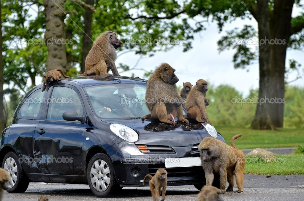 Apes on car — Stock Photo #7118830
