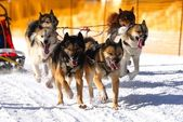 10th World sleddog racing Championship F.I.S.T.C. — Stock Photo