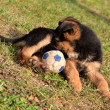 German shepherd puppie - Stock Photo