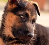 German shepherd puppie — Stock Photo
