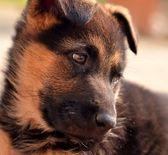 German shepherd puppie — Stock Photo