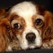 Stock Photo: Blenheim Cavalier King Charles Spaniel