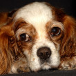 Blenheim Cavalier King Charles Spaniel — Stock Photo