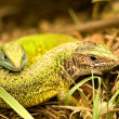 Green lizard — Stock Photo #7687825