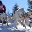 Sled dogs championship — Stock Photo