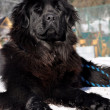 Stock Photo: Newfoundland dog