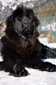 Newfoundland dog — Stock Photo