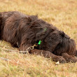 Briard - Stok fotoraf