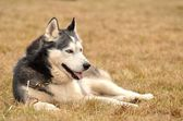 Alaskan malamute dog — Stock Photo