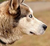 аляскинская собака маламута — Стоковое фото