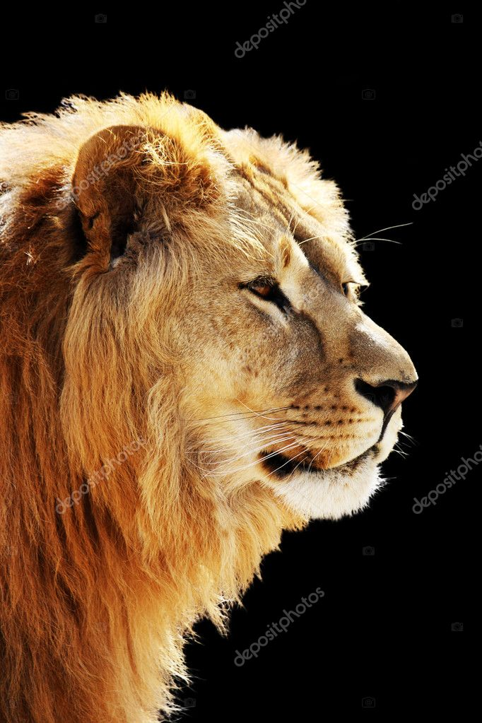 Big beautiful lion portrait isolated on the black — Stock Photo #6963101