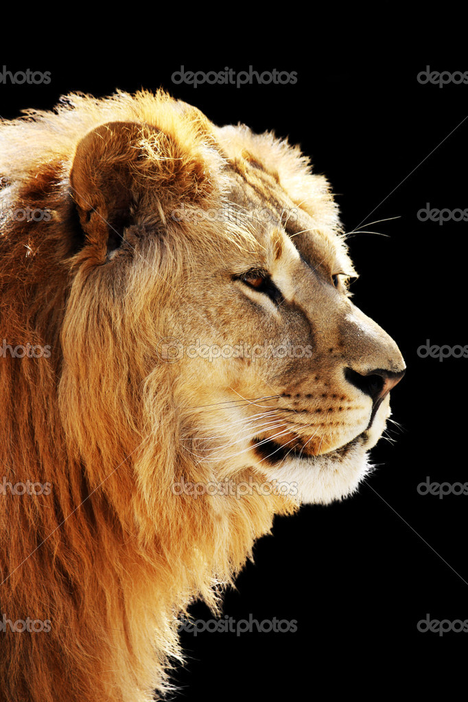 Big beautiful lion portrait isolated on the black  Stock Photo #6963101