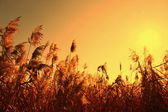 Sedge in the orange sky and sun — Stock Photo