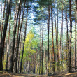 Pine forest — Stock Photo #7672336