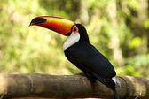 Orange-billed Toucan, Iguazu Falls — Stock Photo