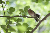 Dancing chaffinch (Fringilla coelebs) — Stock Photo