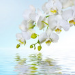 Beautiful white orchid flower phalaenopsis reflected in water with copyspac — Stock Photo
