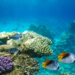 Underwater life of hard-coral reef — Stock Photo #7718567
