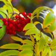 Red rowan — Stock Photo #6983905