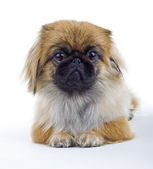 Pekinese dog on a light background — Stock Photo