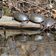 Painted Turtles on Log — Stock Photo