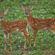 Fawns in a bean field — Stock Photo