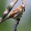 Stock Photo: Common Sparrow