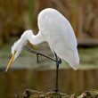 Great White Egret — Stock Photo
